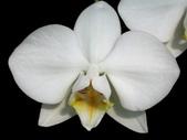 蝴蝶蘭照片欣賞 :W01-005a.JPG