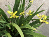 植物隨手拍 AG:黃扇鳶尾ag0378.JPG