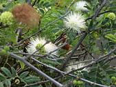 植物隨手拍 BP:白絨球bp1989.JPG