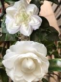 認識植物2.0 (21) 白:白六角茶花xx02.jpg