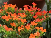 認識植物2.0 (59) 長:長壽花bq9220.JPG