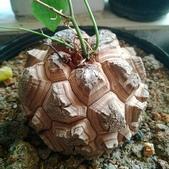 認識植物2.0 (63) 南:南非龜甲龍zz02.jpg