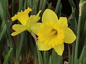 植物隨手拍 BP:西洋水仙bp4473.JPG