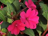 植物隨手拍CW:超級鳳仙cv9035.JPG