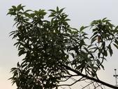 植物隨手拍EI:香楠ei8516.JPG