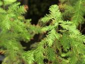 認識植物(70) 腰萬萱萼落葉葎葛葡葫葶蒂:落羽杉cn6995.JPG