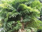 植物隨手拍 CJ:叢立孔雀椰子cj3141.JPG