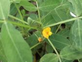 認識植物(70) 腰萬萱萼落葉葎葛葡葫葶蒂:落花生at6294.JPG