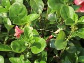 認識植物2.0 (59) 長:長虹假杜鵑cx7951.JPG
