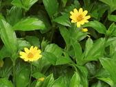 認識植物2.0 (63) 南:南美蟛蜞菊ar1345.JPG