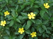 植物隨手拍 AG:黃時鐘花ag5110.JPG