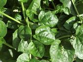 認識植物(70) 腰萬萱萼落葉葎葛葡葫葶蒂:落葵ap4055.JPG