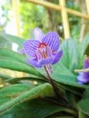 認識植物2.0 (22) 皮矢石禾立:皮草花xx01.jpg
