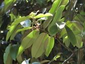 植物隨手拍 H:毛柿 h0125.JPG