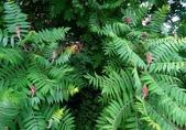 認識植物(57) 鹿麥麻傅傘博喜喬單報壺富:鹿角漆樹xx04.jpg