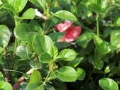 認識植物2.0 (59) 長:長虹假杜鵑cx7952.JPG