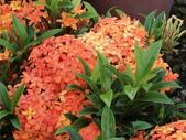 植物隨手拍 AG:矮粉仙丹花ag4423.JPG