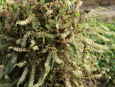 認識植物(70) 腰萬萱萼落葉葎葛葡葫葶蒂:落葵薯ag4098.JPG
