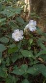認識植物2.0 (27) 成扛早旭曲朵:曲莖馬藍xx01.jpg