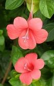 認識植物2.0 (59) 長:長虹假杜鵑xx01.jpg