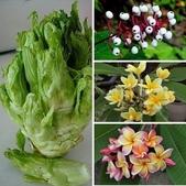 認識植物2.0 (66) 威娃屋屏峇:相簿封面