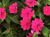 植物隨手拍CW:超級鳳仙cv9190.JPG