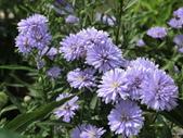 認識植物(61) 紫:紫孔雀ak8815.JPG