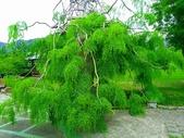 認識植物(64) 象費貼超酢量鈕開陽雁雲韌須:象腳樹xx01.jpg