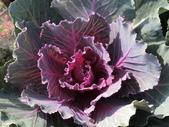 認識植物(70) 腰萬萱萼落葉葎葛葡葫葶蒂:葉牡丹bi1632.JPG