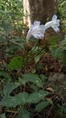 認識植物2.0 (27) 成扛早旭曲朵:曲莖馬藍xx02.jpg