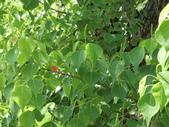 植物隨手拍EI:烏桕ei0895.JPG