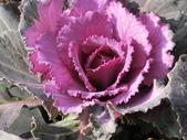 認識植物(70) 腰萬萱萼落葉葎葛葡葫葶蒂:葉牡丹bi1795.JPG