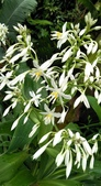 認識植物(68) 新椰椴楊楓極榆榔滇煉煙猿獅瑞:新西蘭岩百合xx02.jpg