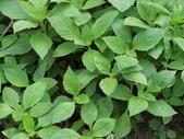 植物隨手拍 X:昭和草 x1250.JPG