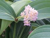 植物隨手拍 AD:珍珠寶蓮ad4364.JPG