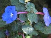 認識植物2.0 (59) 長:長筒花cs4609.JPG