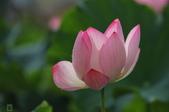 六月春盪漾 ~ 荷花之美:荷花-030.jpg