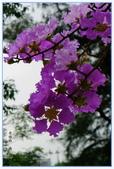 紫色的夢~大花紫薇:大花紫薇-38.jpg