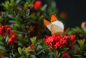 約在冬季:冬戀-08端紅粉蝶