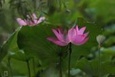 六月春盪漾 ~ 荷花之美:荷花-008.jpg