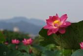 六月春盪漾 ~ 荷花之美:荷-15.jpg