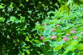 六月春盪漾 ~ 荷花之美:荷-403.jpg