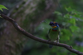 鳥語 -1:五色鳥-