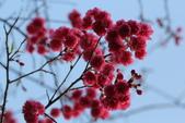 2014 櫻花之戀:A_7407.jpg