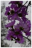 紫色的夢~大花紫薇:大花紫薇-47.jpg