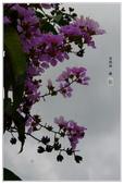 紫色的夢~大花紫薇:大花紫薇-56.jpg