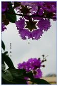紫色的夢~大花紫薇:大花紫薇-49.jpg