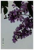 紫色的夢~大花紫薇:大花紫薇-33.jpg