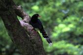 鳥語 -1:台灣藍鵲