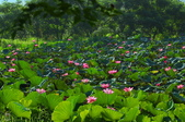 六月春盪漾 ~ 荷花之美:荷-422.jpg
